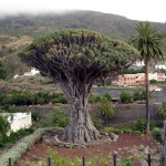Icod de los Vinos, the Drago town in Tenerife (Canary Islands)