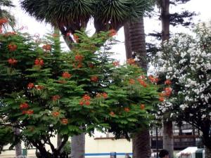 tenerife arbol flores rojas